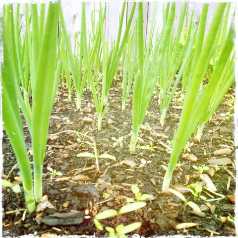 Forest of green onions