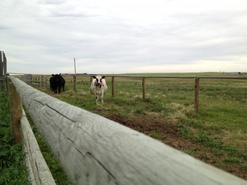 Trail's End ranch cattle
