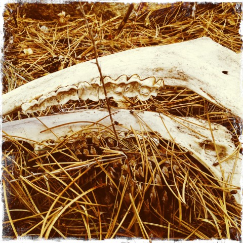 Jaw bone in Rocky Mountain National Park