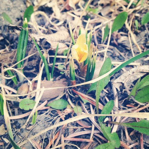 First crocus bloomed in our yard on May 1st. Spring is officially here now.