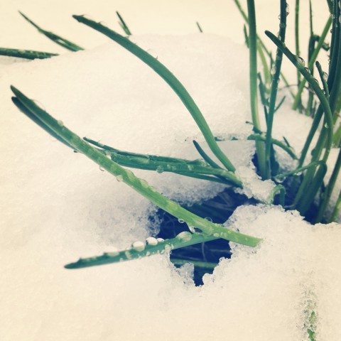 The white stuff that won't stay away. Our poor garden. At least chives are tough little buggers.