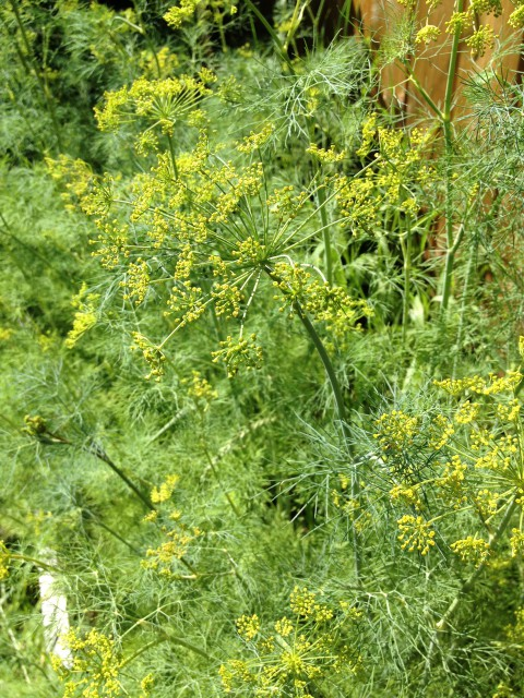 Lovely, lovely dill! I've been enjoying the dill the most this year, on grilled cheese sandwiches, in salads, in mac'n cheese, in salad dressings, etc. So tasty!
