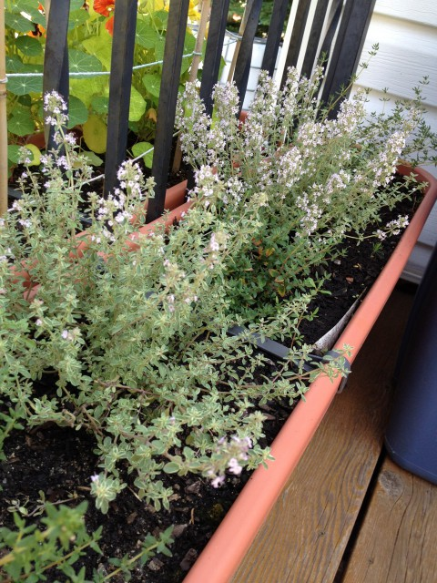 Thyme plants doing well!
