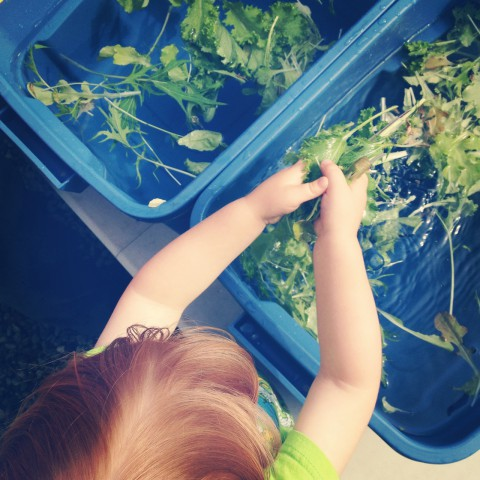 He's even pretty gentle washing the salad greens for the Happiness By the Acre CSA.